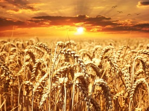 wheat-field-640960_640